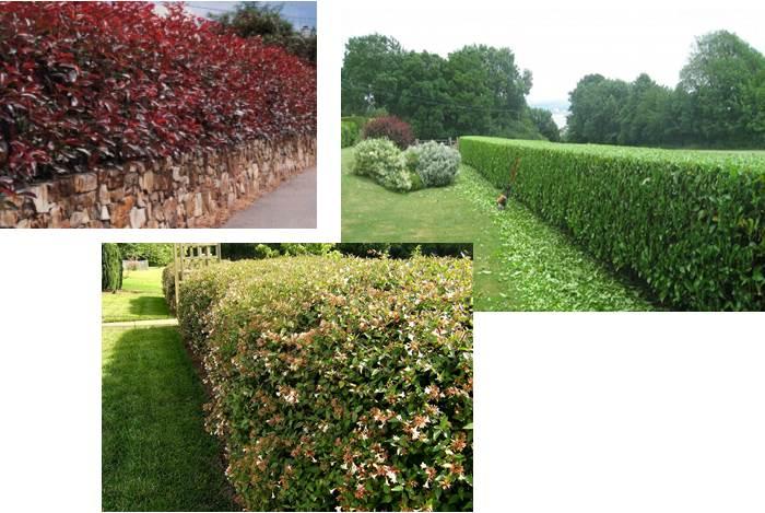 Piante da siepe quali scegliere per il tuo giardino - Osmanthus siepe ...