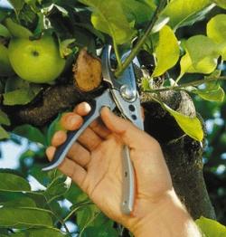 I 4 fondamenti per la potatura di alberi da frutto blog for Potatura alberi da frutto