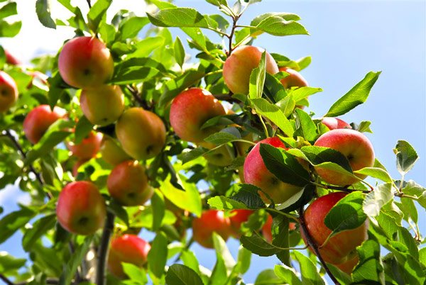 alberi da frutto perch coltivarli a casa blog vivaio