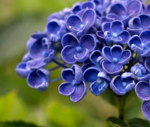Hydrabgea_macrophylla_hovaria_hopcorn_rose_3_1464104944099359600