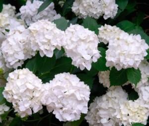 Hydrandea_Microphylla_Madame_Emile_Mouillere_5_1464707754047901600