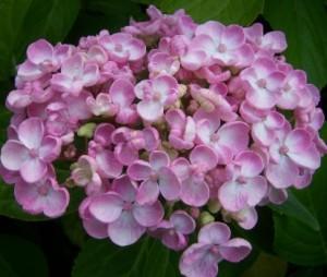 Hydrangea-Macrophylla-Ayesha_1464072203059864700