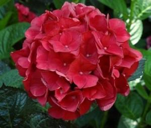 Hydrangea-Macrophylla-Foleus-Purpureus_1464097826092765700