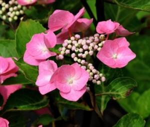 Hydrangea-Macrophylla-Zorro-Rose_2_1464166576023683300
