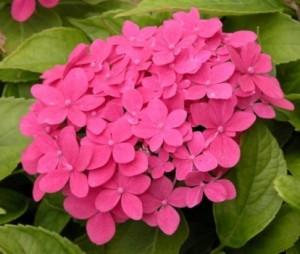 Hydrangea-macrophylla-Hornli_1464698540048682800