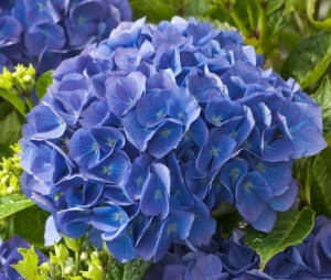 Hydrangea-macrophylla-Renate-Steiniger_2_1464181129092984900
