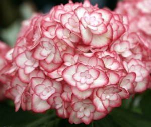 Hydrangea-macrophylla_Miss-Saori_2_1464179786024212900