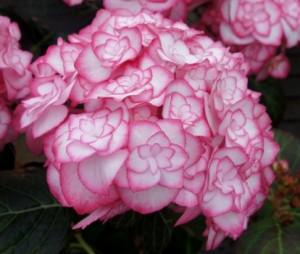 Hydrangea-macrophylla_Miss-Saori_3_1464180005093295700