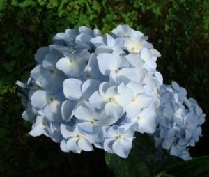 Hydrangea_Macrophylla_France_Mini_Penny_4_1464170495037313800