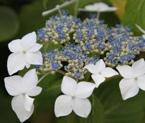 Hydrangea_Macrophylla_Lanarth_White_1464702035052722300