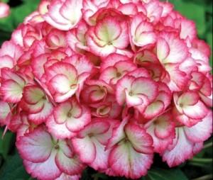 Hydrangea_Macrophylla_hovaria-love-you-kiss-rose_3_1464105940019231200