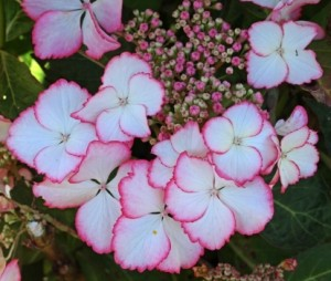 Hydrangea_Macrophylla_hovaria-love-you-kiss-rose_5_1464105860027944400