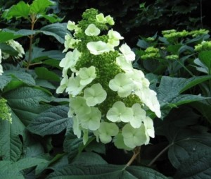Hydrangea_Quercifolia_Snow_Queen_4_1464186547034016700