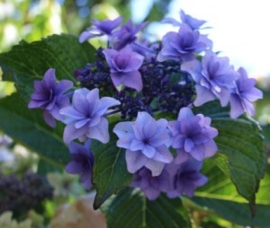Hydrangea_macrophylla_Etoile_Violette_5_1464097189063863200