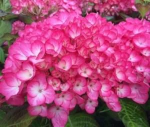Hydrangea_macrophylla_Grafin_Cosel_3_1464100703054667000