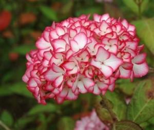 Hydrangea_macrophylla_Mirai_1464163036002864200