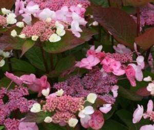 Hydrangea_macrophylla_dolce_Gipsy_3_1464083777052538500