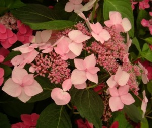 Hydrangea_macrophylla_dr_jean_varnier_3_1464703701049531600