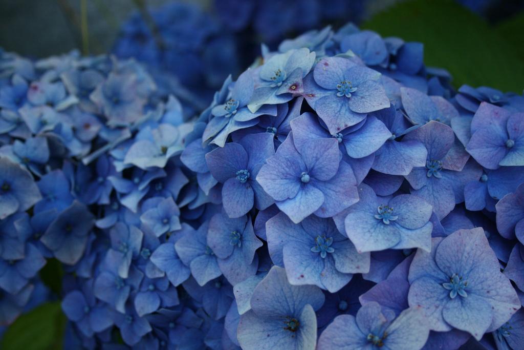 Ortensie 3 1 consigli per coltivarle in modo semplice - Ortensie colori ...