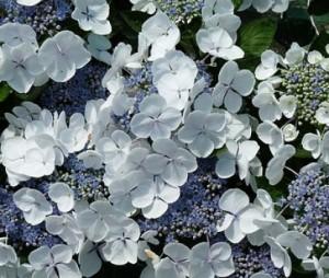 hydrangea-macrophylla-great-star_blanc-bleu_3_1464102180024286000
