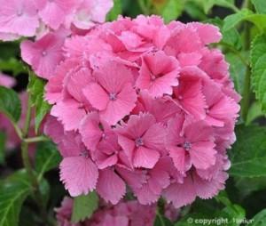 hydrangea-macrophylla_dolce-farfalle-rose_1464074008047256500