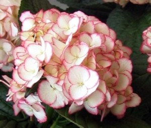 hydrangea-macrophylla_dutch-ladies_-sabrina_2_1464092423011051900