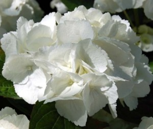 hydrangea-macrophylla_dutch-ladies_Shakira_3_1464095660087776200