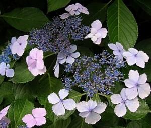 hydrangea_macrophylla_Nadeshiko_Gaku_1464686789090636200