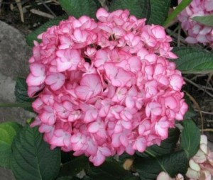 hydrangea_macrophylla_dutch_lady__salsa_1464094057087253200