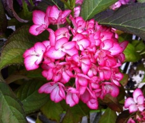 hydrangea_macrophylla_dutch_lady__salsa_3_1464094142044442700