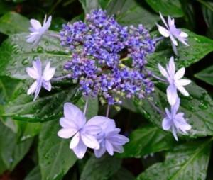 hydrangea_macrophylla_izu_no_hana_1464705328093313800