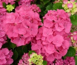 hydrangea_macrophylla_sybilla_2_1464697626041146900