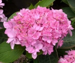 hydrangea_macrophylla_you_me_romance_rosa_1464164434046519000