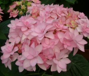 hydrangea_macrophylla_you_me_romance_rosa_2_1464164316038328700